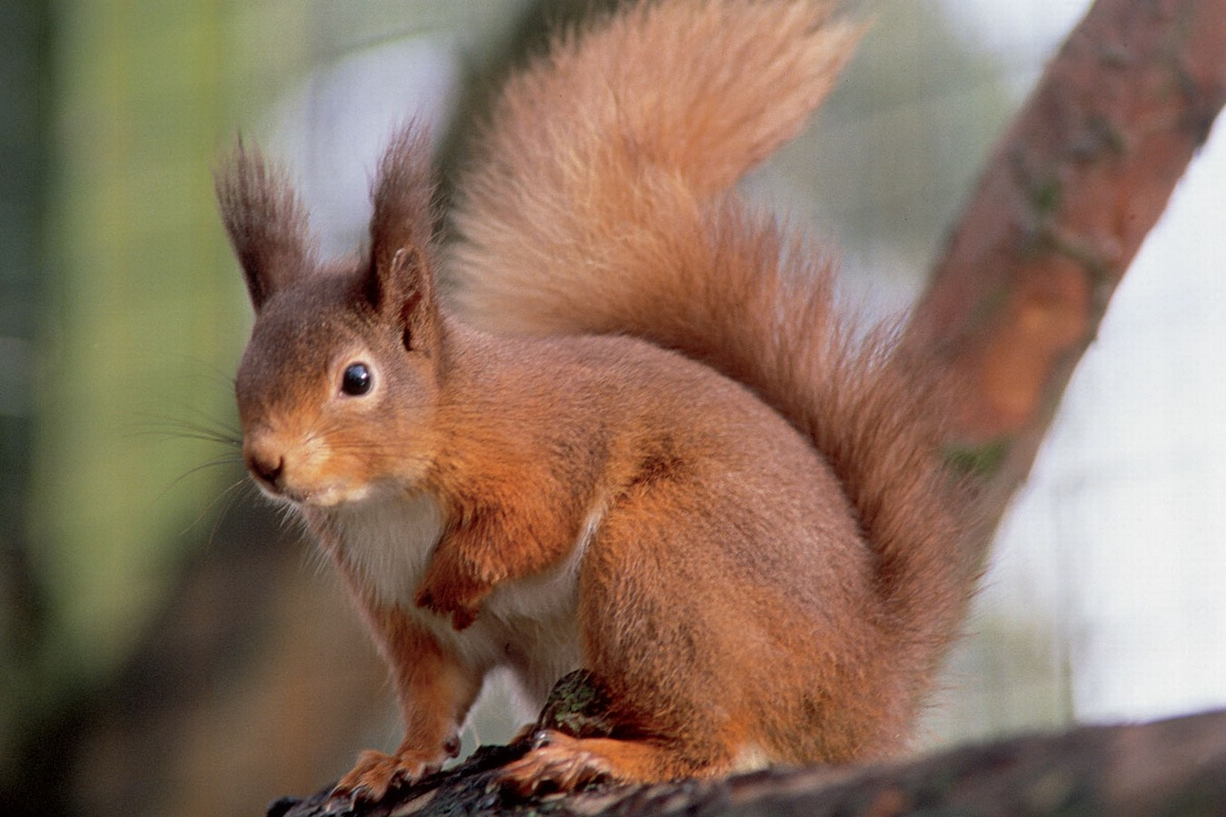 Red squirrel breeding programme