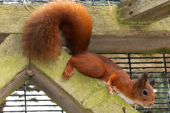 History of Red Squirrels at Kelling Heath