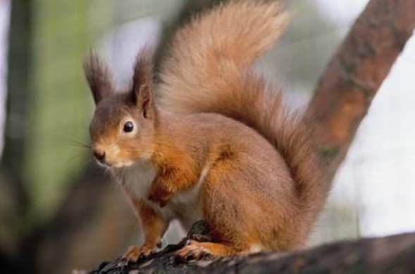 Meet the Red Squirrels at Kelling Heath